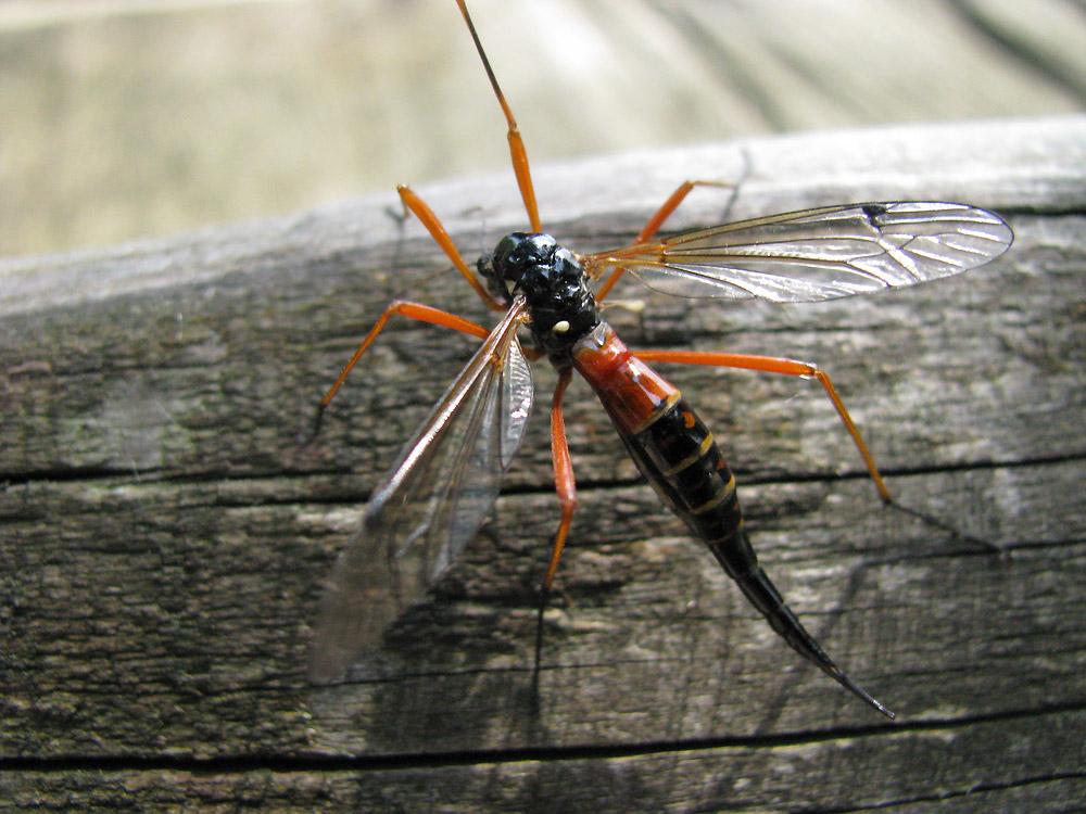 Libelle oder Holzwespe oder...?